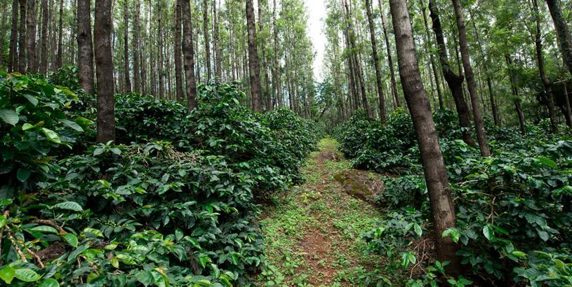 India, Where Coffee Came of Age