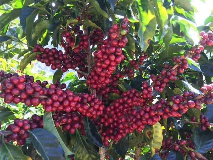 Costa Rica Finca El Mango Black Honey Microlot